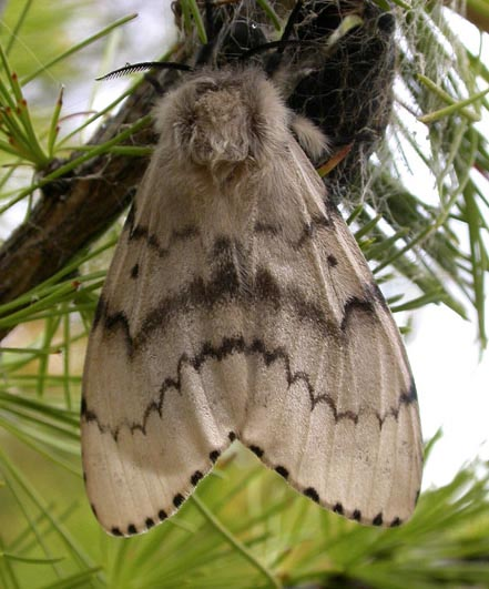 Asian Gypsy Moth (AGM)