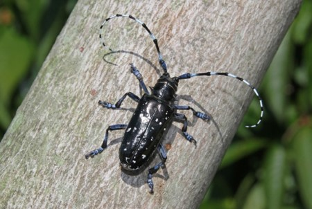 Asian Longhorned Beetle (ALB)