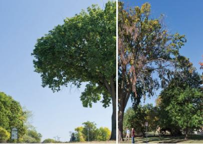 Dutch Elm Disease (DED)